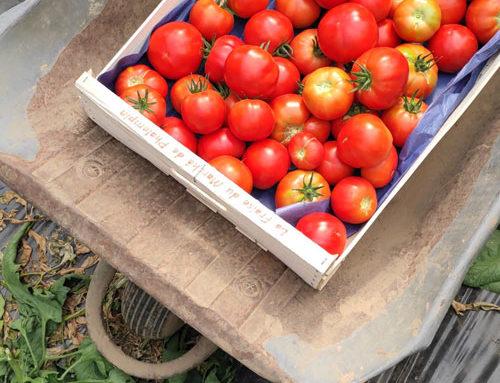 C'est le retour de la Locabelle, cette belle tomate issue d'une filière locale !