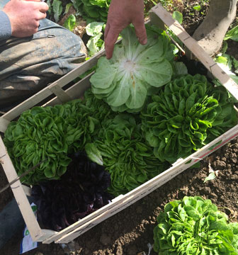 caisse salades